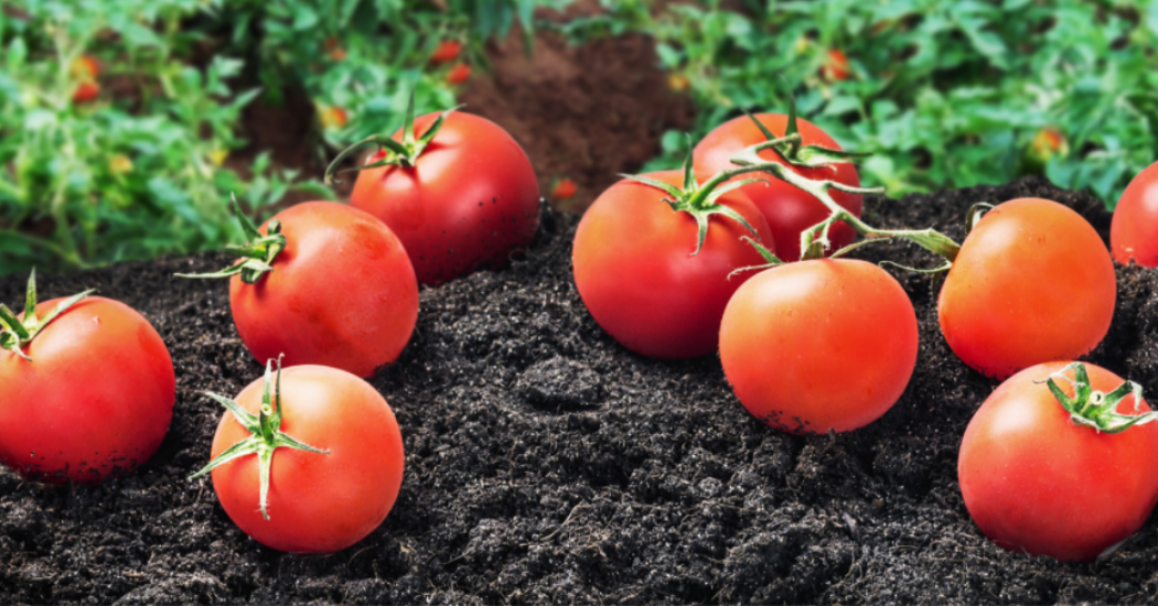 Cornell Tomato Grower Gets Out Of Red With Cornell Co-Pilot™